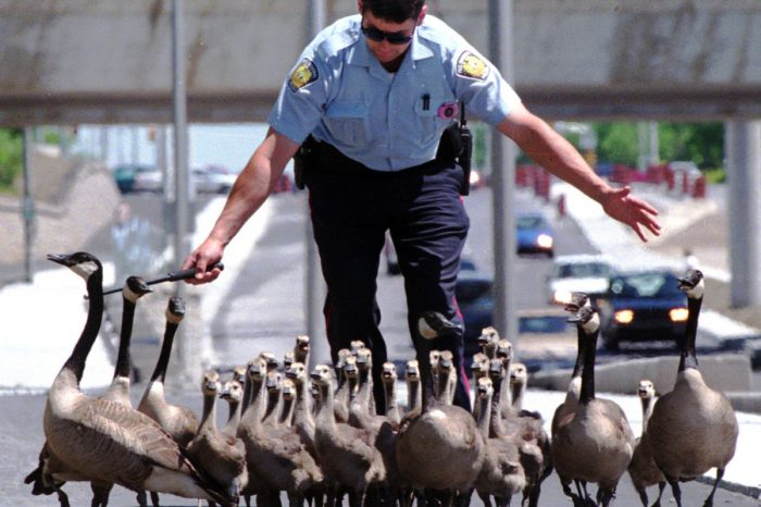 VIDEO | Canadian Geese Cause Highways Chaos