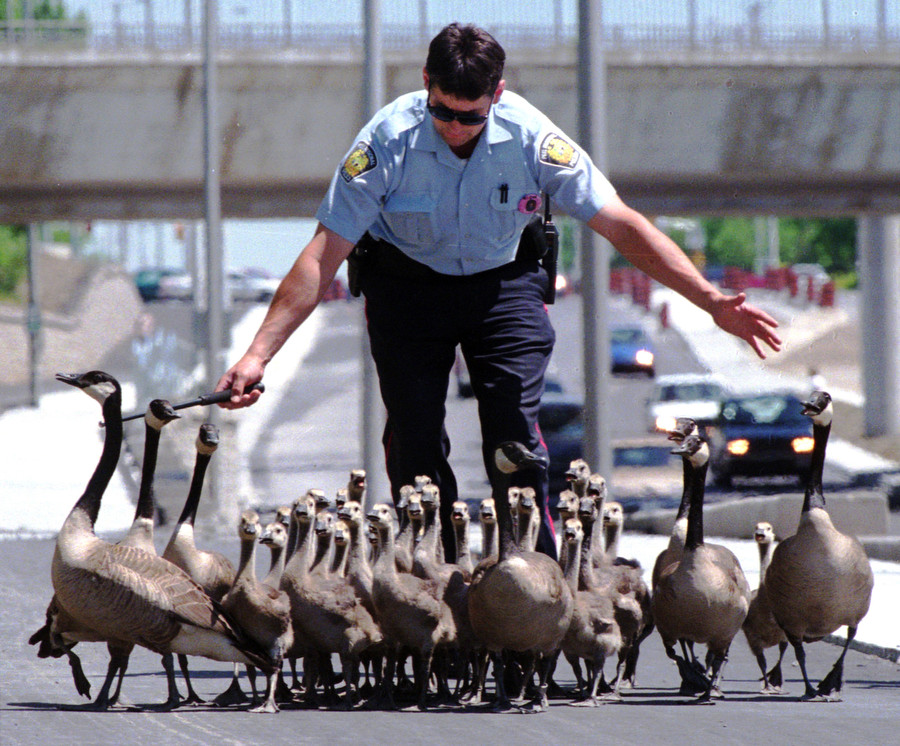 Canadian Geese Cause Highways Chaos.jpg