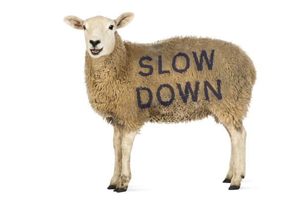 Slow-Down-sheep