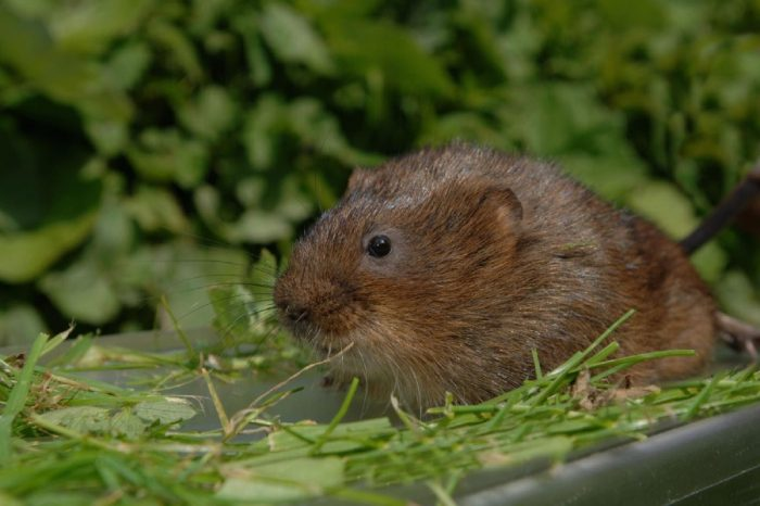A raft of ideas to help track down the elusive water vole