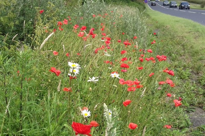 Insects make a beeline for wildflowers on Yorkshire road