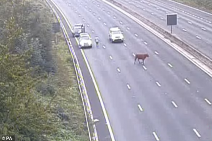 Cow holds up M25 rush hour traffic