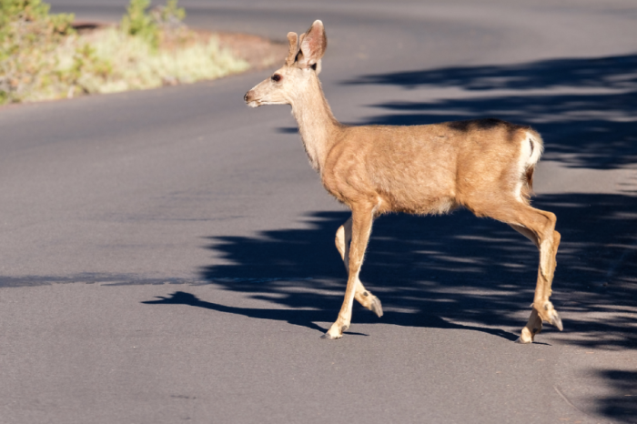 Hertfordshire County Council issues deer crossing warning to drivers this autumn